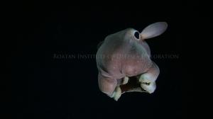 dumbo octopus copy
